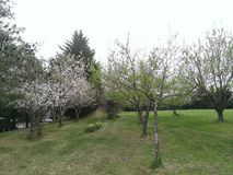 Our orchard. Trees in full bloom Royalty Free Stock Photography