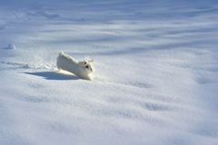 White rabbit/bunny cheerfully scuttling in the snow stock image