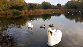 Our resident swans at Gloucester Park. This is Boris and Doris our resident swans on the lake with a few friends and a trees background. with ducks, seagulls Stock Photo