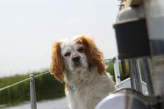 Our ships mate. A King Charles Spaniel as ships mate stock image