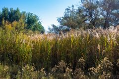 Tall `Turkey Foot` grasses in autumn in Ouray National Wildlife Refuge royalty free stock photography