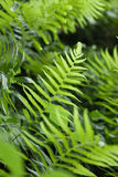 Ourdoors shot of fern or pteridium aquilinum shrub Royalty Free Stock Images