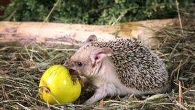 Ouriço africano que come uma maçã vídeos de arquivo