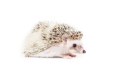 Ouriço bonito do pigmeu Fotos de Stock Royalty Free