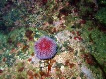 Ouriço-cacheiro do diabrete de mar Foto de Stock