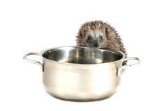 Ouriço com fome que olha em cozinhar o potenciômetro Imagem de Stock Royalty Free