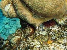 Ouriço-do-mar imagem de stock