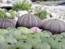 Ouriço-do-mar Fotos de Stock Royalty Free