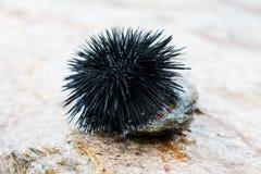 Ouriço-do-mar de mar Imagem de Stock Royalty Free