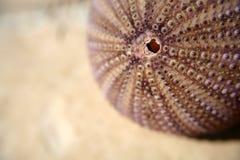 Ouriço-do-mar de mar Fotos de Stock