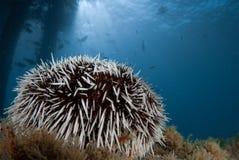 Ouriço-do-mar de mar Imagens de Stock Royalty Free
