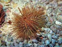 Ouriço-do-mar de mar Imagem de Stock