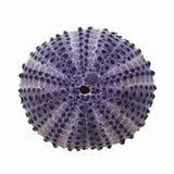 Ouriço-do-mar de mar Foto de Stock