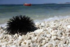 Ouriço-do-mar de mar. Imagem de Stock Royalty Free