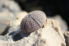 Ouriço-do-mar de mar Shell Imagens de Stock Royalty Free