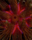 Ouriço-do-mar do incêndio imagens de stock royalty free