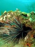 Ouriço-do-mar Longo-spined Fotos de Stock