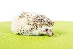 Ouriço do pigmeu do animal de estimação Fotos de Stock Royalty Free