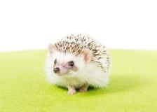 Ouriço do pigmeu do animal de estimação Imagem de Stock Royalty Free