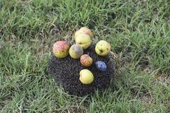 Ouriço em uma grama verde Agulhas do ouriço fixadas em maçãs, pe Imagens de Stock Royalty Free