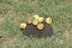Ouriço em uma grama verde Agulhas do ouriço fixadas em maçãs, pe Fotos de Stock