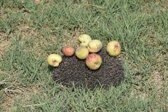 Ouriço em uma grama verde Agulhas do ouriço fixadas em maçãs, em pêssegos e em ameixas O ouriço ondulou acima em uma bola Foto de Stock