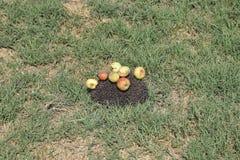 Ouriço em uma grama verde Agulhas do ouriço fixadas em maçãs, em pêssegos e em ameixas O ouriço ondulou acima em uma bola Imagem de Stock
