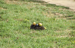 Ouriço em uma grama verde Agulhas do ouriço fixadas em maçãs, em pêssegos e em ameixas O ouriço ondulou acima em uma bola Fotos de Stock Royalty Free