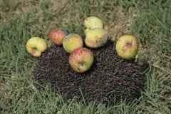 Ouriço em uma grama verde Agulhas do ouriço fixadas em maçãs, em pêssegos e em ameixas O ouriço ondulou acima em uma bola Fotografia de Stock Royalty Free