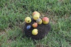 Ouriço em uma grama verde Agulhas do ouriço fixadas em maçãs, pe Fotos de Stock Royalty Free