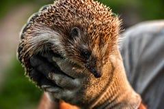 Ouriço espinhoso selvagem da floresta nas mãos humanas foto de stock