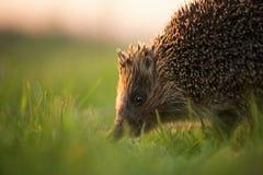 Ouriço no habitat natural na luz bonita da noite imagens de stock royalty free