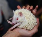 Ouriço novo do albino que senta-se nas mãos do homem Em um fundo escuro Imagens de Stock Royalty Free