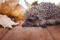 Ouriço novo nas folhas de outono Fotografia de Stock