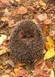 Ouriço novo pequeno em uma grama Fotografia de Stock