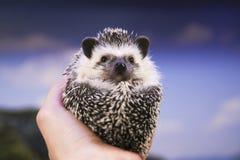 Ouriço pequeno nas mãos Foto de Stock