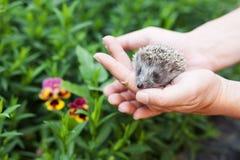 Ouriço pequeno nas mãos humanas contra o contexto das hortaliças Imagem de Stock Royalty Free