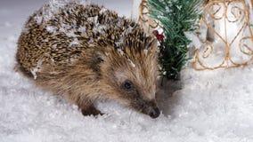 Ouriço pequeno que procura pela forragem na neve Foto de Stock Royalty Free