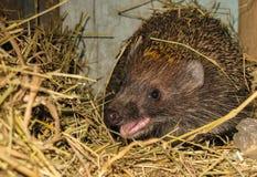 Ouriço que vive na cabine feno animal Imagem de Stock Royalty Free