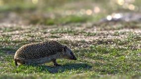 Ouriço retroiluminado que anda na grama curto Imagem de Stock