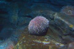 Ouriços-do-mar Imagens de Stock Royalty Free