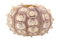 Ouriços-do-mar Fotos de Stock