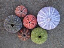 Ouriços-do-mar coloridos Imagens de Stock