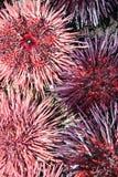 Ouriços-do-mar cor-de-rosa e roxos Imagem de Stock Royalty Free