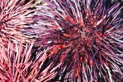 Ouriços-do-mar cor-de-rosa e roxos Fotografia de Stock Royalty Free