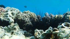 Ouriços-do-mar em um recife de corais colorido filme
