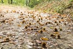 Ouriços no trajeto nas madeiras Foto de Stock Royalty Free