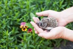 Ouriço pequeno nas mãos humanas contra o contexto das hortaliças Foto de Stock