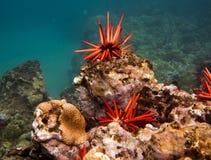 Ouriços-do-mar vermelhos subaquáticos em Havaí Fotos de Stock