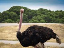 Ouriousstruisvogel met boos gezicht royalty-vrije stock afbeeldingen